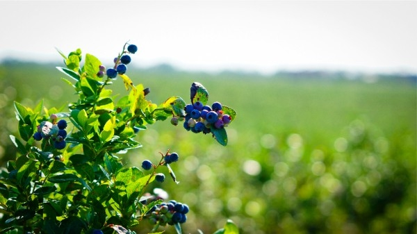 dsc02656-mixon-farms-blueberry-harvest-600x337