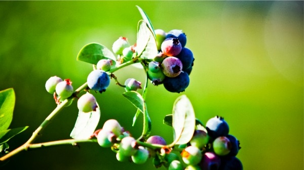 dsc02658-mixon-farms-blueberry-harvest-600x337