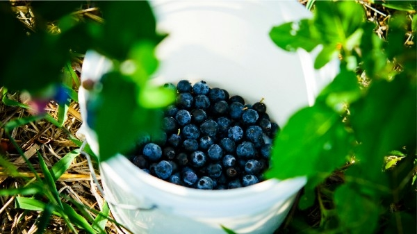 dsc02677-mixon-farms-blueberry-harvest-600x337