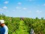 Mixon Farms Blueberry Harvest