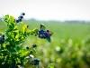 dsc02656-mixon-farms-blueberry-harvest-600x337