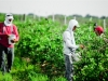 dsc02666-mixon-farms-blueberry-harvest-600x337
