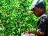dsc02669-mixon-farms-blueberry-harvest-253x449