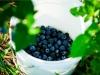 dsc02677-mixon-farms-blueberry-harvest-600x337