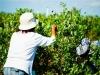 dsc02685-mixon-farms-blueberry-harvest-600x337