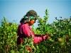 dsc02687-mixon-farms-blueberry-harvest-600x337