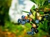 dsc02695-mixon-farms-blueberry-harvest-600x337