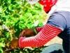 dsc02710-mixon-farms-blueberry-harvest-253x449