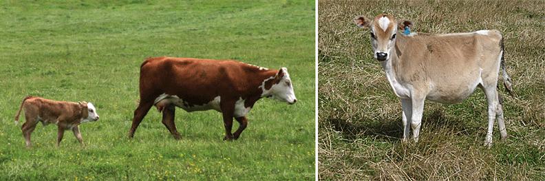 Cattle and better breeding program
