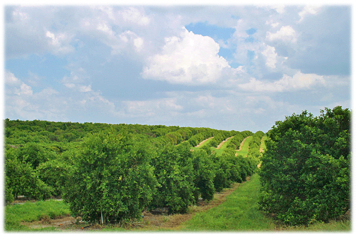 2015 16 citrus forecast  experts take a look down the path of this year u0027s harvest season 2015 16 citrus forecast  experts take a look down the path of this      rh   centralfloridaagnews