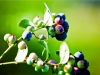 dsc02658-mixon-farms-blueberry-harvest-600x337