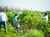 dsc02660-mixon-farms-blueberry-harvest-600x337