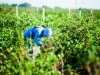dsc02664-mixon-farms-blueberry-harvest-600x337