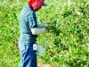 dsc02671-mixon-farms-blueberry-harvest-253x449