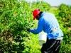 dsc02690-mixon-farms-blueberry-harvest-600x337