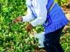 dsc02692-mixon-farms-blueberry-harvest-253x449