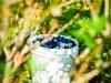 dsc02699-mixon-farms-blueberry-harvest-600x337