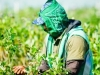 dsc02708-mixon-farms-blueberry-harvest-253x449