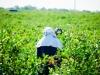 dsc02716-mixon-farms-blueberry-harvest-600x337