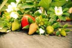 Neat and Sweet Farm\'s Strawberry Field