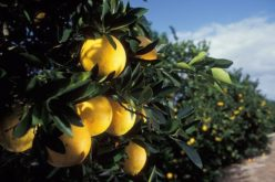 The Green Monster: At War with a Potentially Devastating Citrus Disease