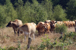 Cattle: Preventing the Spread of Disease Among Herds