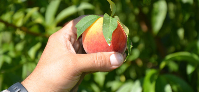 Peaches of Florida