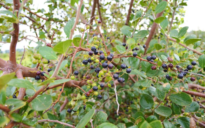 @griTech: Sparkleberry may offer new hope to blueberry growers