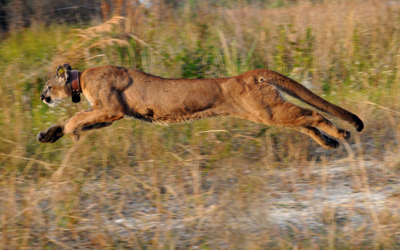 Are calves falling prey to Florida panthers?