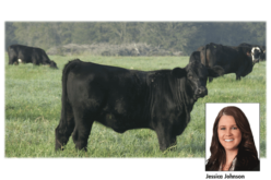 Cattle Feature: Why Brangus?