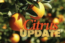 Citrus forecast projects slight decline; HLB funding announced