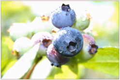 Publisher Letter: Getting the blueberries off the bush