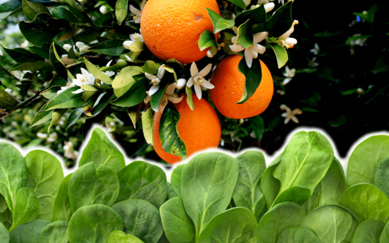A solution to citrus greening with a little help from spinach