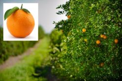 Annual citrus report 2015
