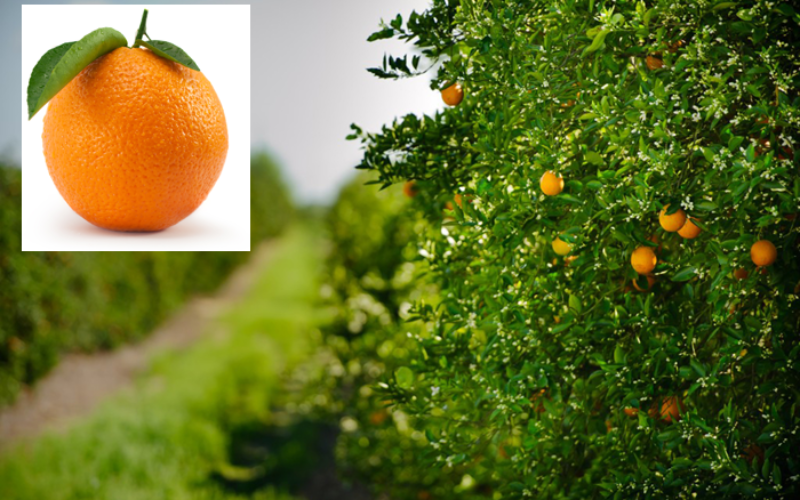 Annual citrus report 2015