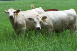 A new cattle breed emerges with the tough stuff for Florida's climate
