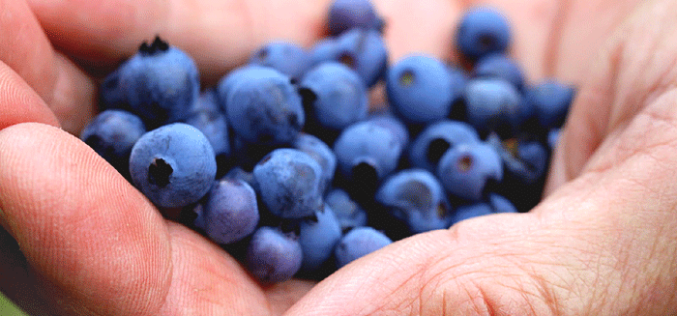 Eight more Florida counties now eligible for blueberry crop insurance