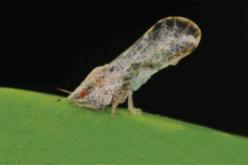 New study shows how HLB bacterium changes bug behavior patterns