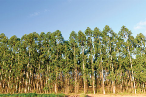 Not just a border tree — possibilities with eucalyptus crops