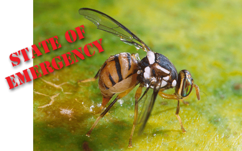 State of emergency due to Oriental fruit fly