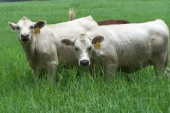 Herd sale for new Ona White Angus cattle breed is canceled