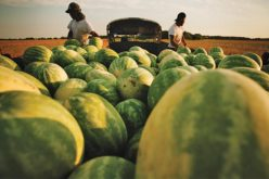 Harvest time: Double cropping — a watermelon season preview