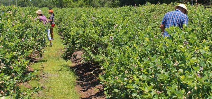 The 2016 blueberry season roundup