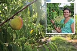 Florida's 2016 peach season