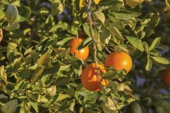 Is the quest for a remedy to citrus greening near completion?