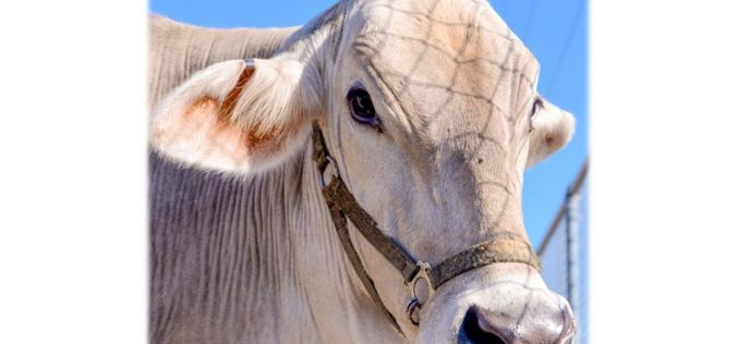 Nothing to moo at: Taking proper precautions to avoid heat stress for your show cattle