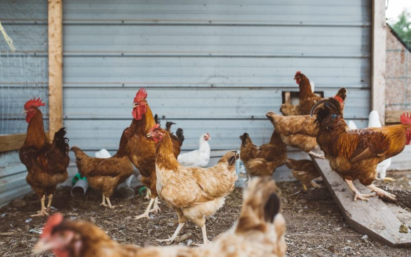 Your backyard chicken coop checklist