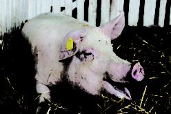 Raising A Market Hog