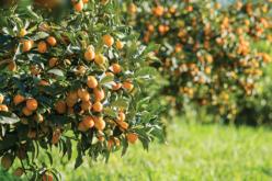 Citrus Report: Halfway Through the Citrus Season