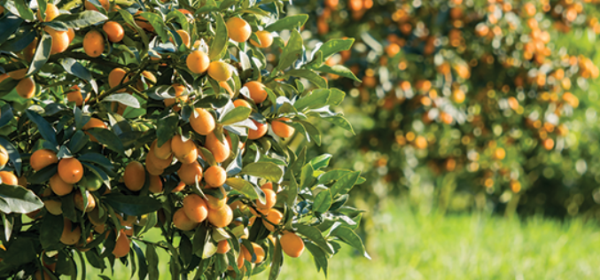 Citrus Report: Halfway Through the Citrus Season